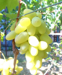 Саженцы винограда Монарх [grape monarch]